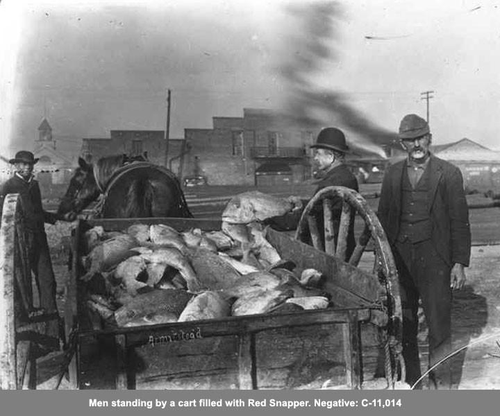 Wagon filled with Red Snapper