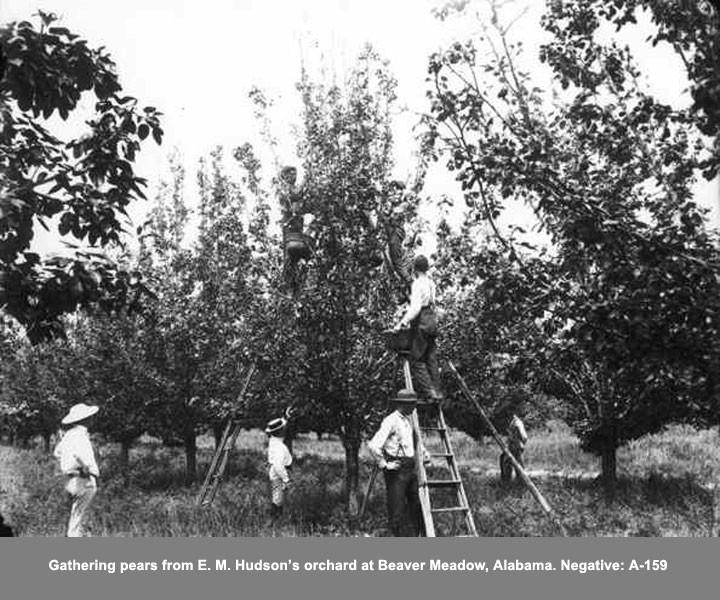 Gathering Pears