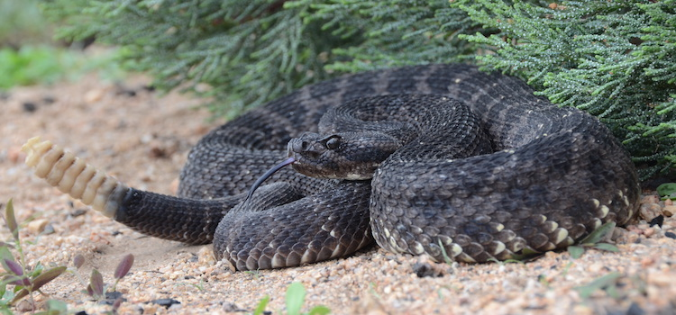 Venom complexity correlated with diet complexity in rattlesnakes - Strickland published in PNAS
