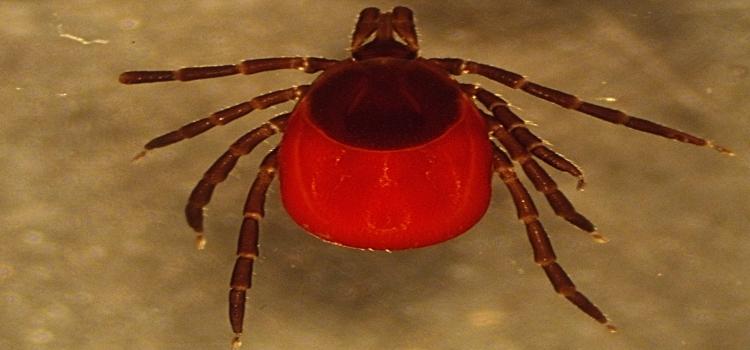 Female black legged tick (Ixodes scapularis), the vector of Lyme disease, from a deer, 2021 (Photo Skyler Kerr)