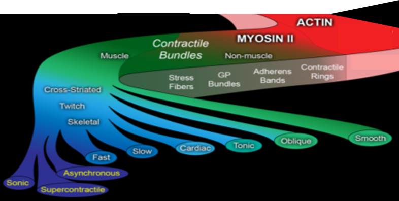 Actin filaments and myosin II motors form a variety of contractile structures in muscle and non-muscle cells.  Each structure has characteristic isoforms and accessory proteins, turnover times, and specialized contractile properties.