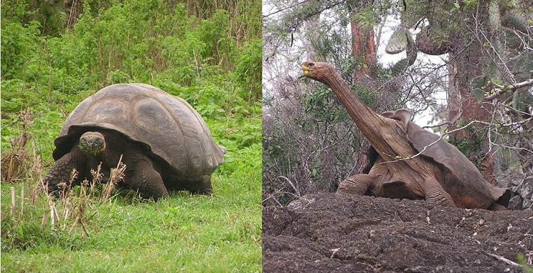 South Biologist Researches Unique Shell Shapes of Famed Galapagos Tortoises