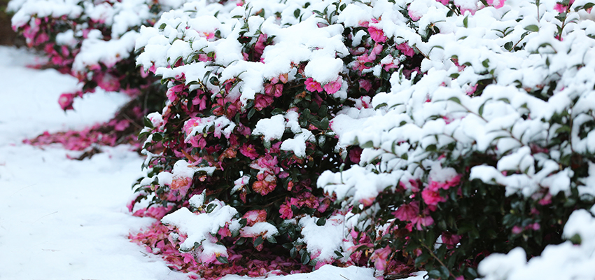 Flowers with snow