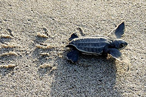 Turtle crawling on the beach