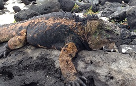 A study by two USA professors found that sea surface temperature helps explain the variation in body size of the Galapagos marine iguana, and island colonization patterns have influenced the varying body shapes.