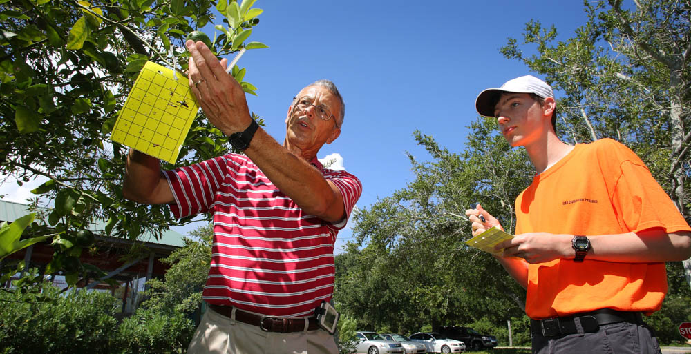 Researchers and volunteers are hanging lime-green sticky traps in citrus trees near the Dauphin Island Sea Lab to try and catch bugs that are threatening the trees' existence. Dr. David Battiste, assistant professor of chemistry at the University of South Alabama, teams up with Daniel Forbes, a student at Mobile's Davidson High School.