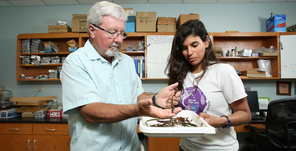 Dr. Ken Heck, professor emeritus, and Alex Rodriguez, a technician in Heck's lab, look at seagrass samples from near Port St. Joe, Fla., as part of their research to find ways for replenishing the grasses.