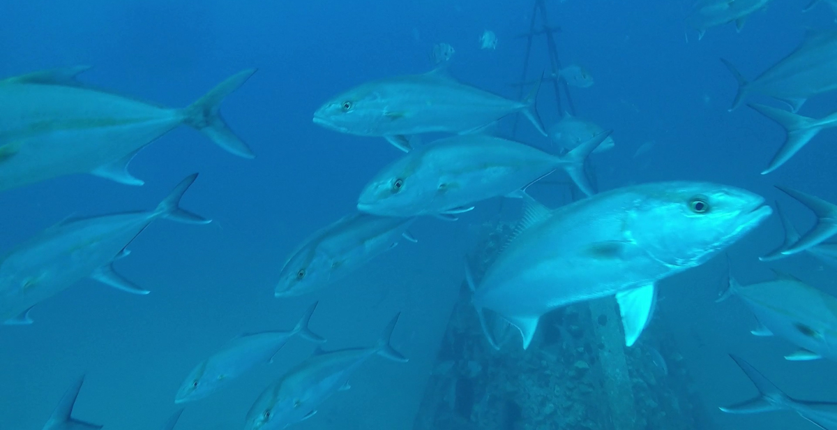 An underwater camera on a remote operated vehicle in the Gulf of Mexico captured this school of greater amberjack near a pyramid deployed by the State of Alabama to provide fish habitat.