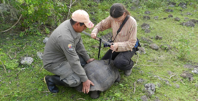 Dr. Ylenia Chiari, right, assistant professor of vertebrate ecology, measures the size of the shell of a Eastern Santa Cruz Tortoise.
