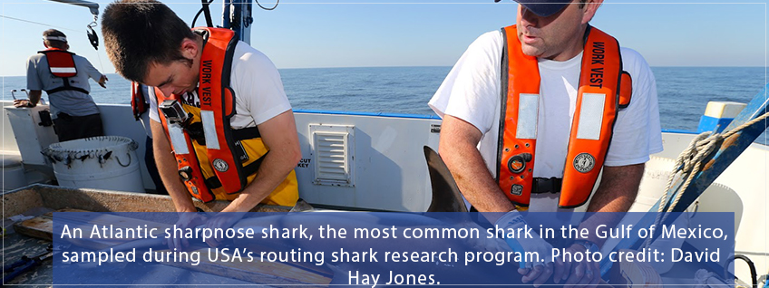 Sampling of an Atlantic Sharpnose Shark by the marine research program